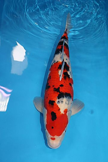 "Sanke-Koi For Sale 22"" 7522"